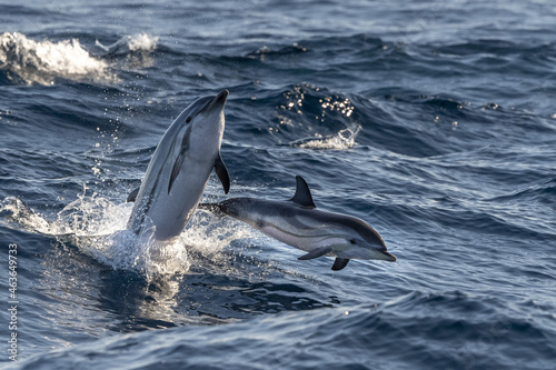 Canvas striped Dolphin while jumping in the deep blue sea near Genoa harbor italy