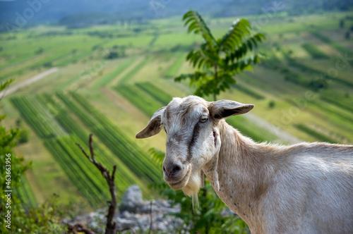 Szaro biała koza na tle zielonej polany #463663956