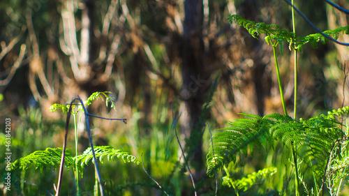 Fotografie, Obraz Végétation opulente dans la forêt des Landes de Gascogne, en période printanière