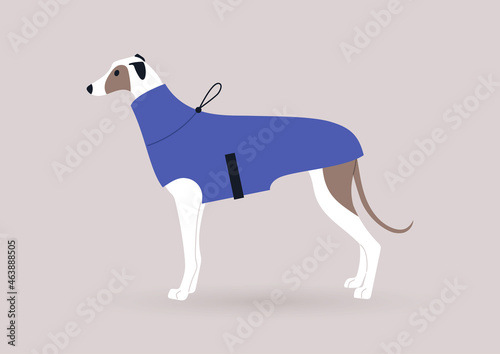 Fotografiet A portrait of a greyhound dog wearing a winter coat, domestic pet outfits