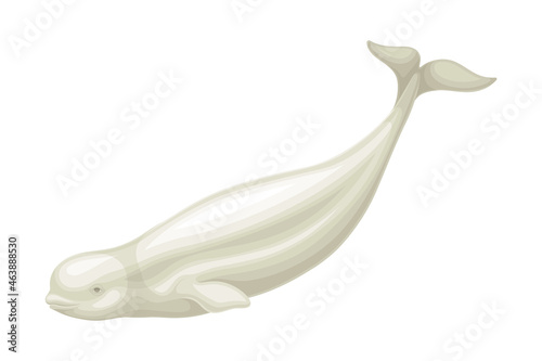 Fotografiet Beluga Whale as Aquatic Placental Marine Mammal with Flippers and Large Tail Fin