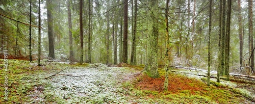 Pathway through the hills of majestic northern evergreen forest. Golden leaves, mighty pine and spruce trees, tree logs, hoarfrost, first snow. Panoramic view. Atmospheric landscape. Nature, ecology