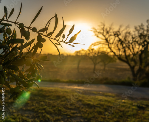 Close-up of olives on an olive tree, Olea europaea, at dawn on a sunny day Fototapeta