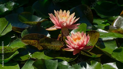 Fotografie, Obraz Two pink orange water lily or lotus flower Perry's Orange Sunset in landscaped garden pond
