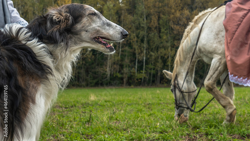 Canvastavla Beautiful russian borzoi or greyhound dogs with horse