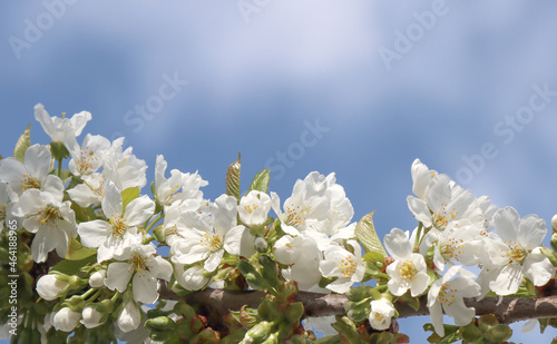 Canvas Blooming cherry tree.
