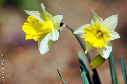 Photo Jonquille (Narcissus pseudonarcissus), Forêt de Montmorency