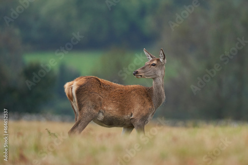 Fotografie, Tablou Red Deer hind (Cervus elaphus) during the annual rut in Bradgate Park, Leicestershire, England