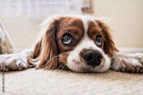 Close-up Portrait Of Dog Resting At Home Fotobehang